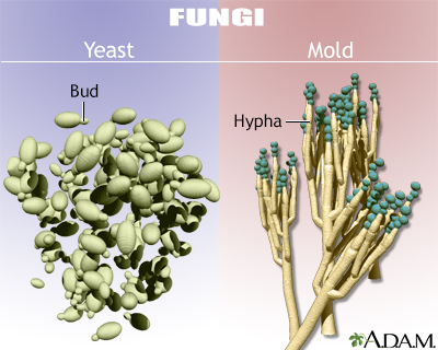 Yeast and mold